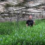 Green Tea Matcha Farming